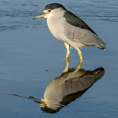Black Capped Night Heron 6531 Poster