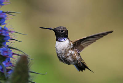 Black-chin Humming Bird Poster