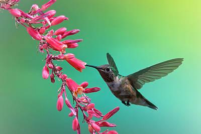 Black Chinned Hummingbird Poster
