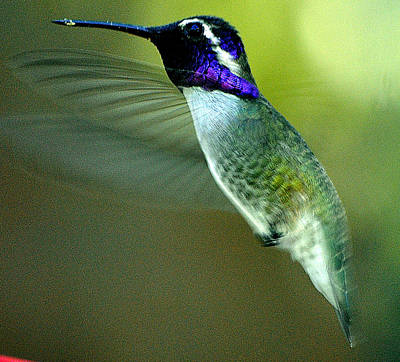 Poster featuring the photograph Black Chinned Male In Flight To Feeder by Jay Milo