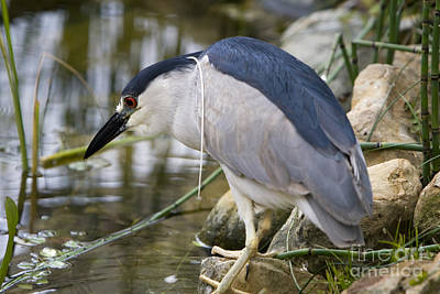 Poster featuring the photograph Black-crown Heron Going Fishing by David Millenheft
