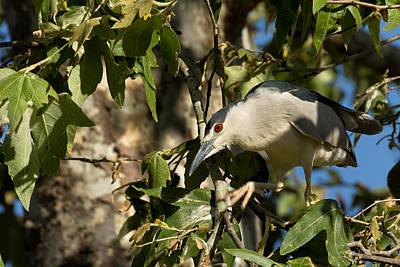 Black-crowned Heron Looking For Nesting Material Poster
