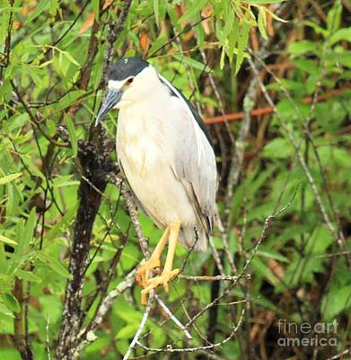 Black Crowned Night Heron Poster by Adam Jewell