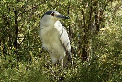 Black-crowned Night Heron In A Tree Poster by Bob Gibbons