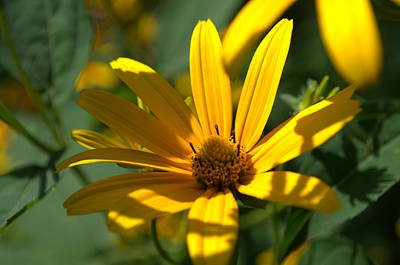 Poster featuring the photograph Black Eyed Susan by Cathy Shiflett