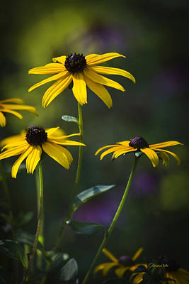 Black-eyed Susan Poster by Christina Rollo