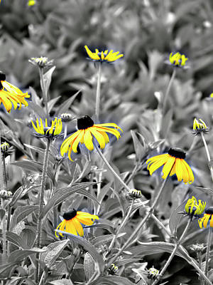 Black-eyed Susan Field Poster by Carolyn Marshall