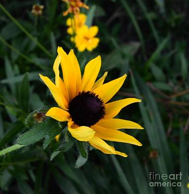 Poster featuring the photograph Black-eyed Susan Glows With Cheer by Luther Fine Art
