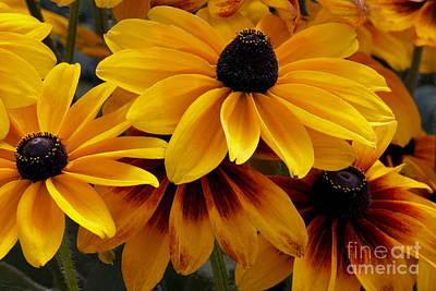 Black-eyed Susan Poster by Ivete Basso Photography