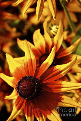 Poster featuring the photograph Black Eyed Susan by Linda Bianic