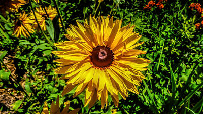 Black Eyed Susan Poster by MaryAnn Barry
