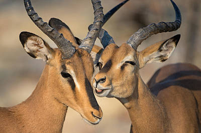 Black-faced Impalas Aepyceros Melampus Poster by Panoramic Images