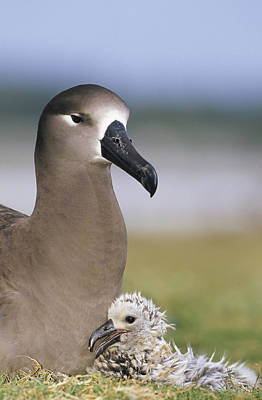 Black-footed Albatross And Young Chick Poster