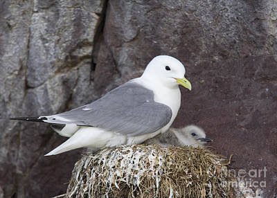 Black-footed Kittiwake Rissa Tridactyla On Nest Poster