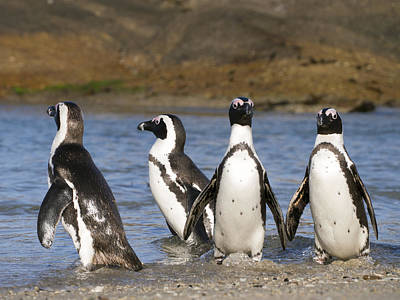 Black-footed Penguins On Beach Cape Poster by Alexander Koenders