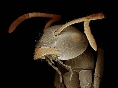 Black Garden Ant Head Poster by Clouds Hill Imaging Ltd