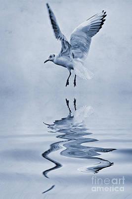 Black Headed Gull Cyanotype Poster by John Edwards