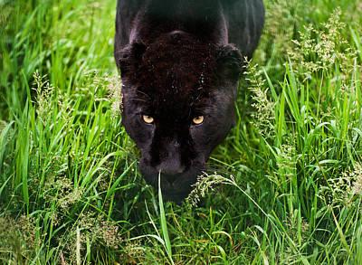 Black Jaguar Poster by Matthew Gibson