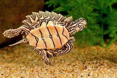 Black-knobbed Sawback Turtle, Graptemys Poster