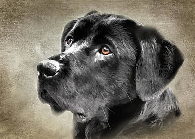 Black Lab Portrait Poster