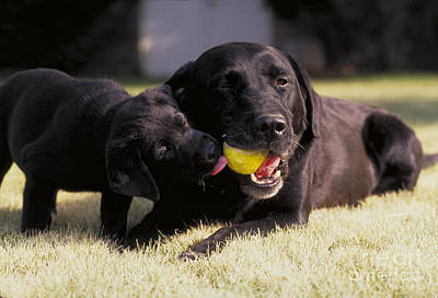 Black Labrador Retriever And Puppy Poster by William H. Mullins