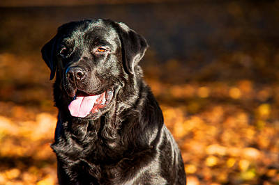 Black Labrador Retriever In Autumn Forest 2 Poster by Jenny Rainbow