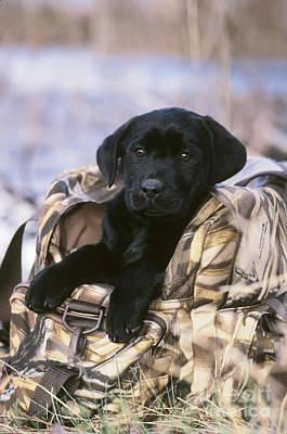 Black Labrador Retriever Puppy Poster by William H. Mullins