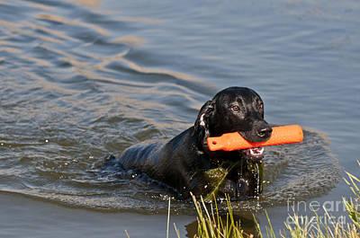 Black Labrador Retriever, Retrieving Poster by William H. Mullins