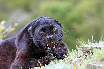 Black Leopard Snarling Poster by M. Watson