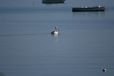 Black Line Pelican  Calm Water Poster