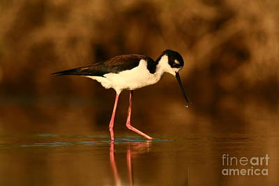 Poster featuring the photograph Black-necked Stilt Waterdrops by John F Tsumas
