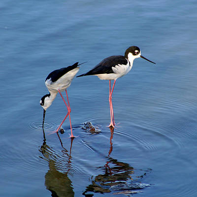 Poster featuring the photograph Black-necked Stilts by Bob and Jan Shriner