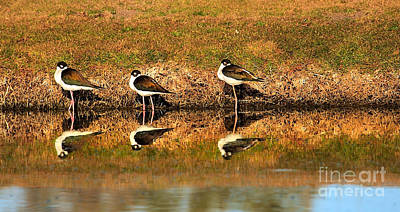 Black-necked Stilts Poster by Robert Bales