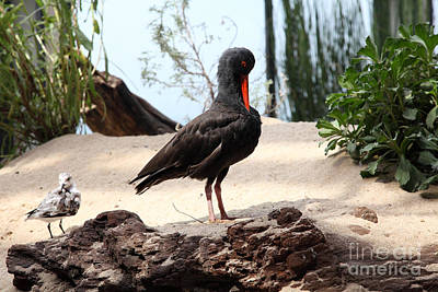 Black Oystercatcher 5d25102 Poster by Wingsdomain Art and Photography