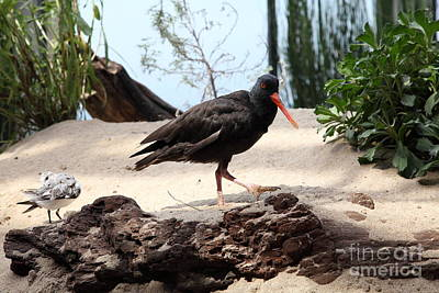 Black Oystercatcher 5d25103 Poster by Wingsdomain Art and Photography