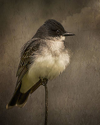 Black Phoebe Poster by Priscilla Burgers