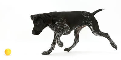 Black Pointer Puppy Chasing A Ball Poster