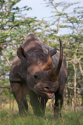 Black Rhino (diceros Bicornis Poster by Keren Su