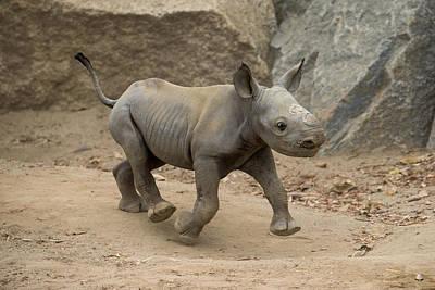 Black Rhinoceros Calf Running Poster
