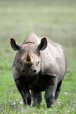 Black Rhinoceros Diceros Bicornis Poster by Panoramic Images