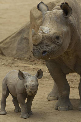 Black Rhinoceros Mother And Calf Poster