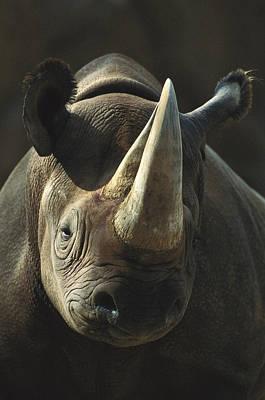 Black Rhinoceros Portrait Poster