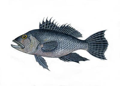 Black Sea Bass 3 Poster