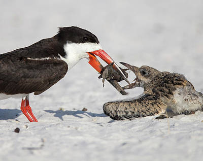 Black Skimmer Chick Going For Fish Poster