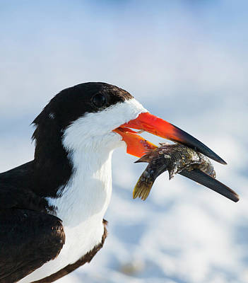 Black Skimmer With Food, Rynchops Poster