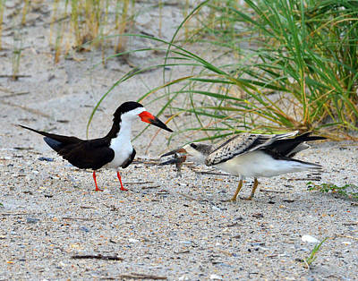 Poster featuring the photograph Black Skimmers by Dana Sohr
