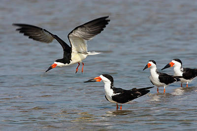 Black Skimmers (rynchops Niger Poster by Larry Ditto