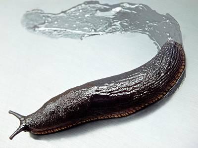 Black Slug With Slime Trail Poster by Ian Gowland