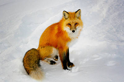 Black Socks Fox Poster