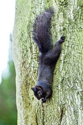Black Squirrel Eating A Nut Poster
